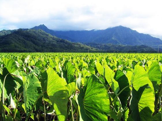 hanalai, kauai, taro, hawaii, aavtravel