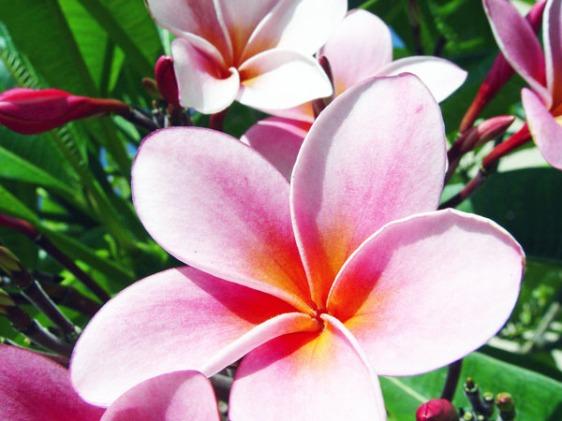 plumeria, kauai, hawaii, aavtravel
