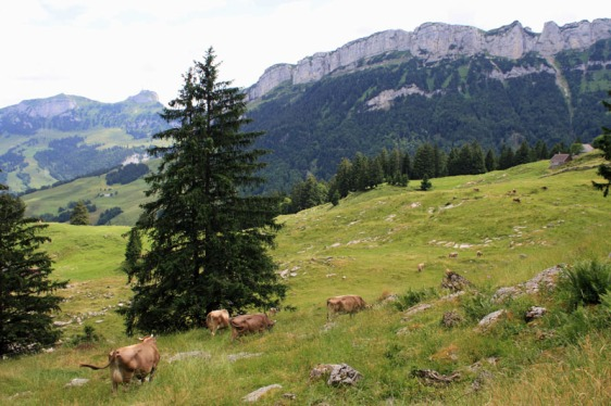 alpstein, appenzell, switzerland, cows, alps, alpine, mountains, aavtravel