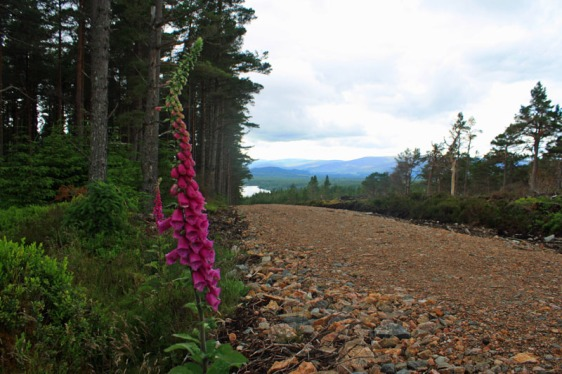 glenmore, crairngorms national park, loch morlich, aviemore, aavtravel, scottish wildflowers, lupines